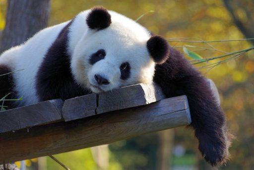 panda 3857754 1920 512x343 - Sichuan University 四川大学